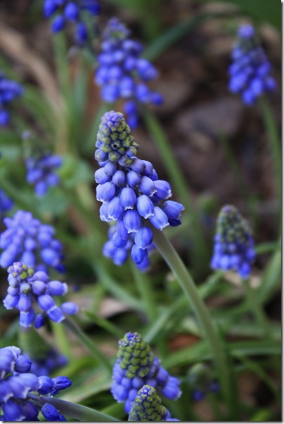 022-pretty grape hyacinth